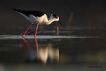 Uzunbacak / Himantopus himantopus / Black-winged stilt