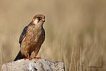 Aladoğan / Red-footed falcon / Falco vespertinus